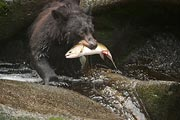 This bear, at Anan Creek, had a sad look on its face as if it was remorseful to have to eat the salmon. We were able to witness many bears eating unbelievable amounts of salmon, but this bear just had a unique look that I was glad to capture.