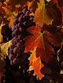The grapes on this fall vine in Amador County, California were plump and ready to harvest.