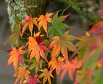 The leaves of this Japanese Maple were in different stages of changing colors.