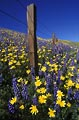 Yellow cups and lupine fill the field along this fence.