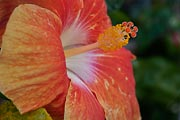 Hibiscus is prolific in Hawaii.
