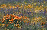 The Carizzo Plain in Central California was covered with poppies.