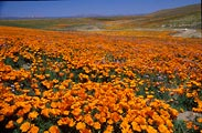 Poppies were everywhere this year near Lancaster, California.