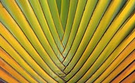 The varigation of color on this travelers palm made for this beautiful pattern.