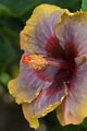 The color of this hibiscus is a rare find in Kauai.