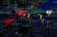 Early morning light highlights these water lilies in Kauai.