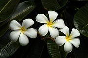 White plumeria is a common sight on the Hawaiian Islands.