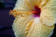 Early morning dew still adorns this yellow hibiscus.