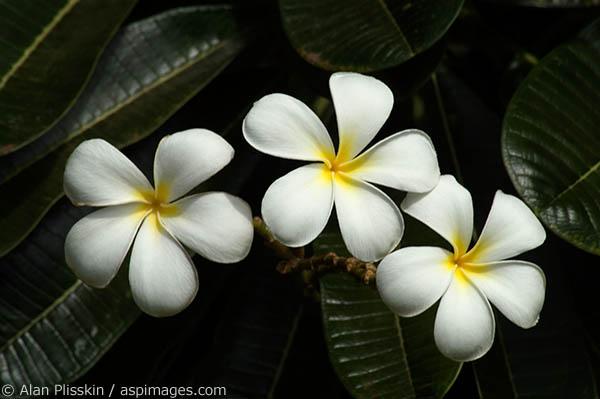 White plumeria is a common sight on the Hawaiian Islands.