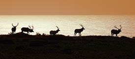 Point Reyes National Seashore is home to hundreds of tule elk.