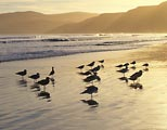 Birds bask in the final light of day at Drakes Beach, Point Reyes National Seashore.
