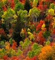 Deciduous trees burst with color in Fall in this central Utah forest.