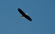 This bald eagle flew overhead in Sitka, Alaska.