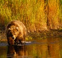 This bear was trolling for salmon in the late afternoon on the Katmai Peninsula, Alaska