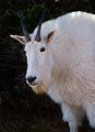 Mountain goats in Glacier National Park have become so accustomed to people that they walk right up to you.