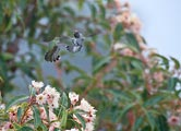 These two hummingbirds were using all body parts to fend of each other.
