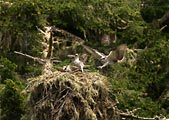An osprey lands on its nest at Point Reyes National Seashore.
