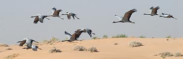 We encountered a flock of Siberian Cranes in the Rajasthan area of India.